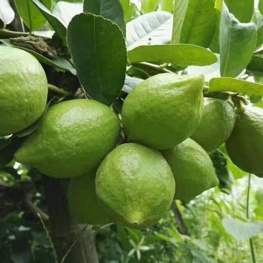 香水柠檬苗  当年种当年结果,四季有果。美神果。