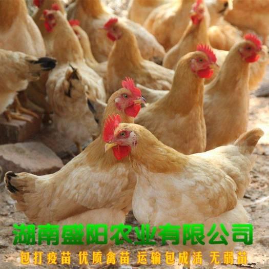 三黄鸡苗  热销正宗黄土鸡苗黄鸡苗湘黄土鸡苗包运输包做疫苗