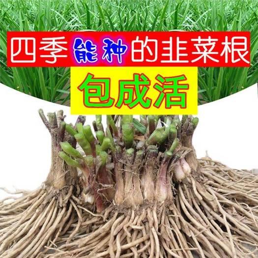 大叶韭菜  新韭菜根韭菜苗现挖紫红根大宽叶韭菜根