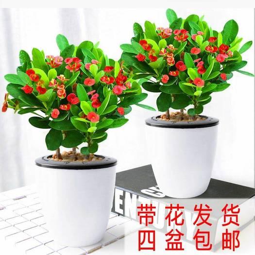 铁海棠盆栽快递包邮 常年开花不断 带吸水盆好养活花卉