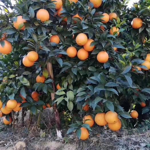 江西赣州赣南脐橙批发现摘上车