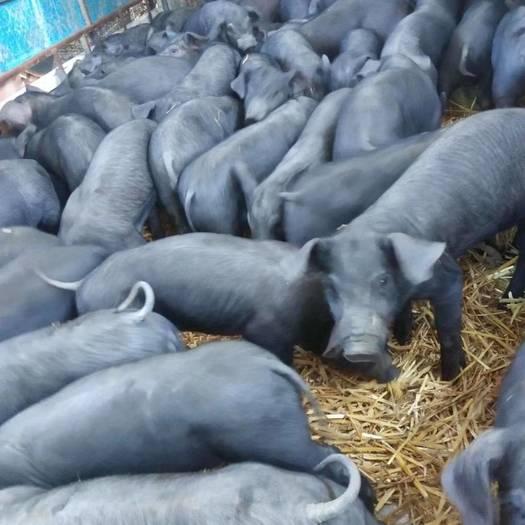 黑猪苗,沂蒙黑猪,适合散养圈养,全国各地饲养,适合散养杀年猪