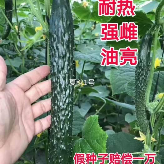 【夏秋1号】黄瓜种子,黄瓜种子,耐热黄瓜种子,强雌黄瓜种