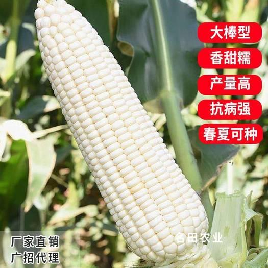 耐热耐寒大棒糯玉米种子甜加糯棒子大,产量高,口感好评价好