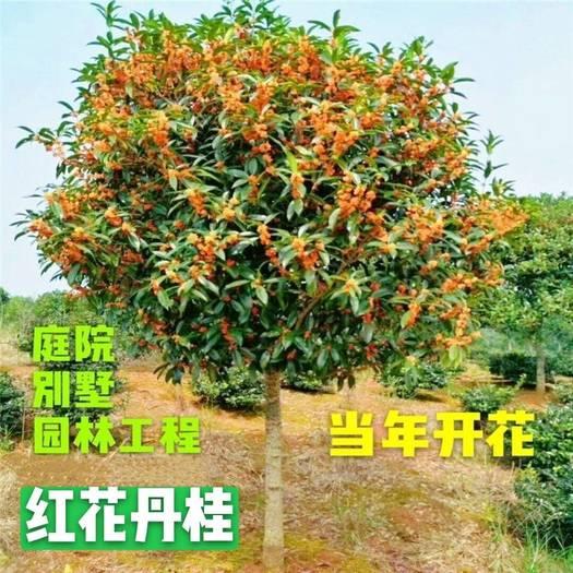 丹桂  状元红红桂 血桂 庭院别墅绿化桂花树