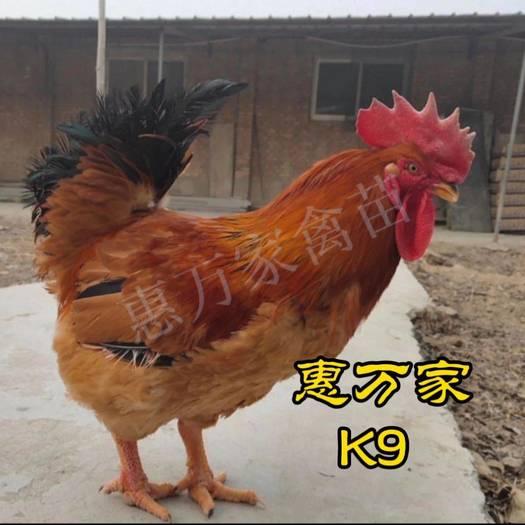 K9雞苗  快長速雞苗、麻黃K9/882、灰羽K9、901、902 雞苗