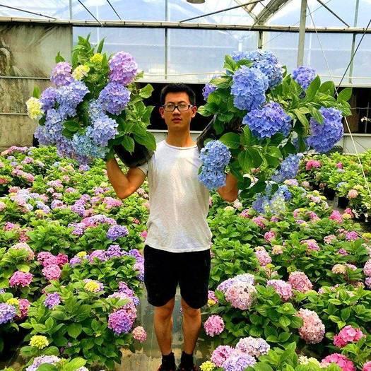 无尽夏绣球  绣球花苗耐寒20年老桩当年开花无尽夏八仙花庭院植物