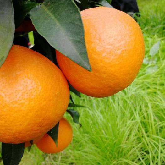 爱媛橙高山套袋爱媛38果冻橙柑橘红美人橙子网红新鲜水果
