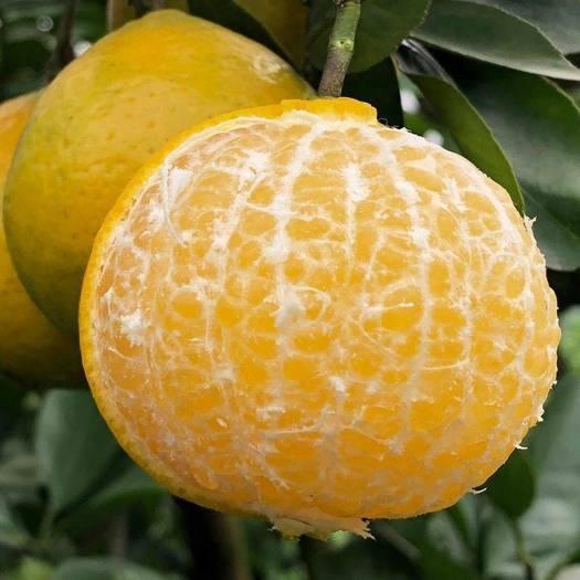 皇帝柑  广西正宗大果10斤装新鲜水果批发现摘当季薄皮贡柑整箱包