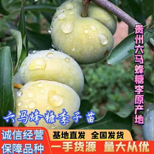 蜂糖李樹苗  貴州 六馬鎮 蜂糖李原產地 第一代嫁接苗 免費提供種植技術