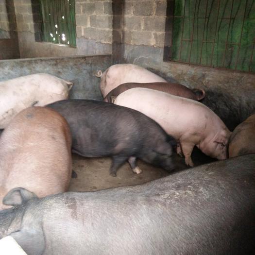 杂交猪 200-300斤