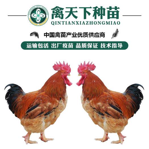 K9鸡苗  优质K9882/麻黄/新广鸡苗 包打疫苗 运损包赔 提供技术