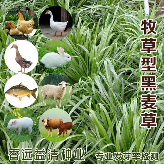 黑麦草种子牧草型四倍体种籽包邮提供技术资料耐践踏护坡草坪绿化