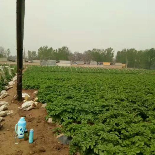 荷兰15号种薯  秋冬季优质脱毒马铃薯土豆种大量批发