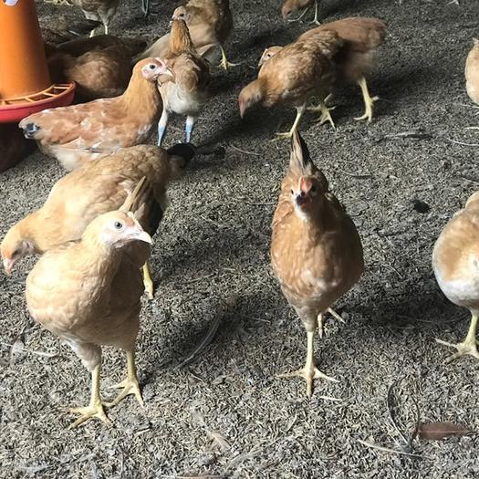 绿壳鸡苗  高产蛋鸡 绿壳 黄壳可选 疫苗流程科学一月龄