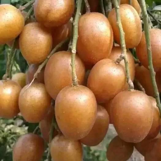 黑黄皮果苗  正品嫁接香蜜黑黄皮苗当年种当年结果,结出的果实价钱最高