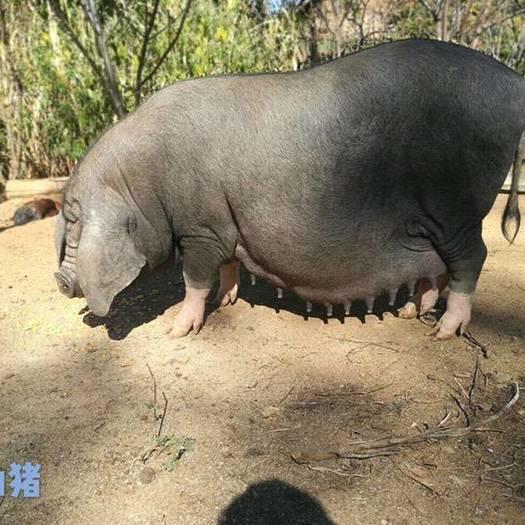 太湖猪  太湖梅山猪高产母猪黑猪