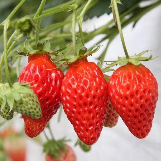 章姬草莓苗  草莓苗,红颜草莓,四季草莓苗,本店只做品种苗