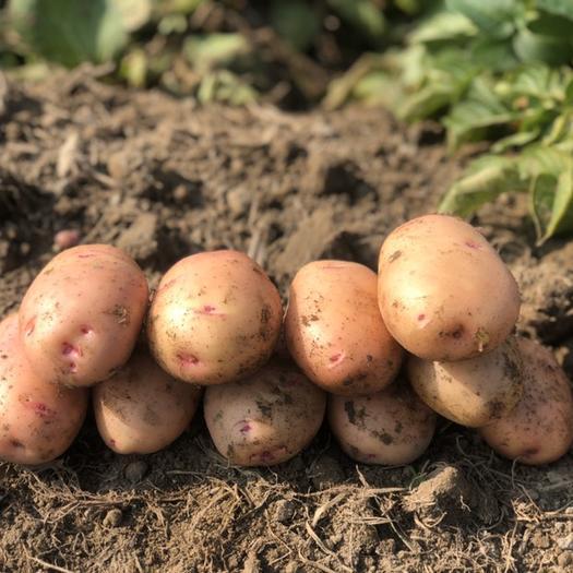 黄心土豆  产地现挖新鲜马铃薯洋芋(合作88)