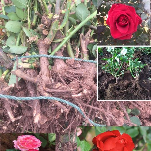 月季玫瑰老桩,绝对的品质