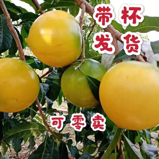 黄晶果苗  台湾新品种 又名黄金果 、雅美果