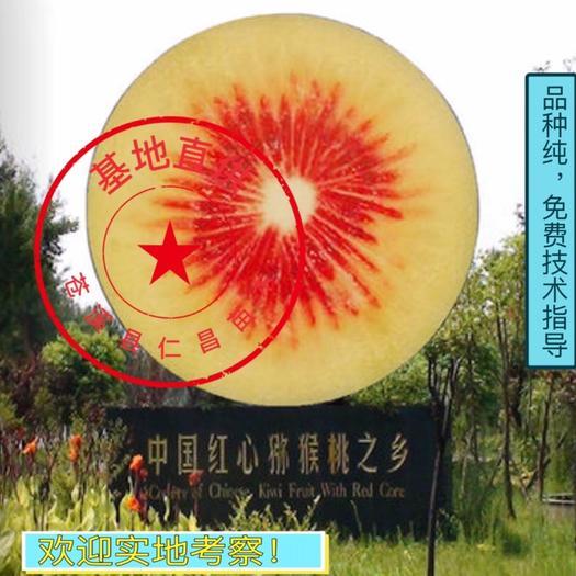 红阳猕猴桃苗  【热卖】红心红阳猕猴桃嫁接苗 包品种 可实地考察 免费技术