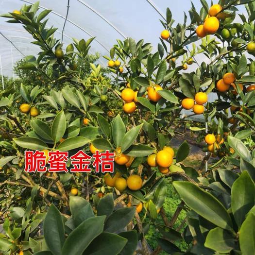 脆蜜金桔、脆蜜金柑、金桔苗产地直销