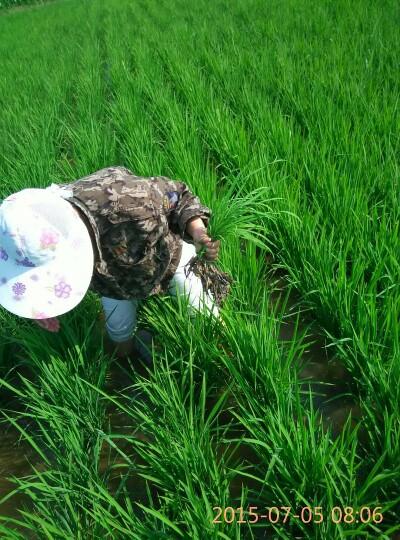 稻花香二号大米 绿色食品 晚稻 一等品