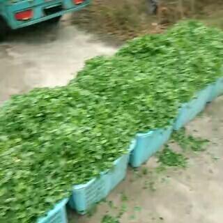 江苏省苏州市太仓市野生金花菜