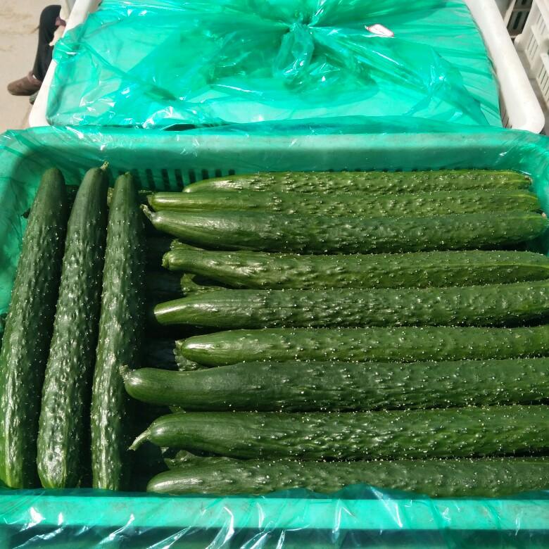 德瑞特721黄瓜 30cm以上 干花带刺