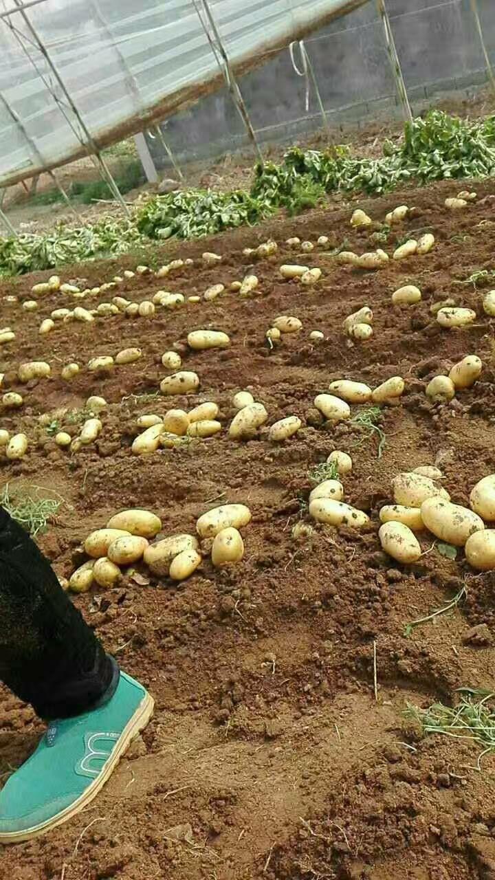 荷兰15号土豆 1两以上