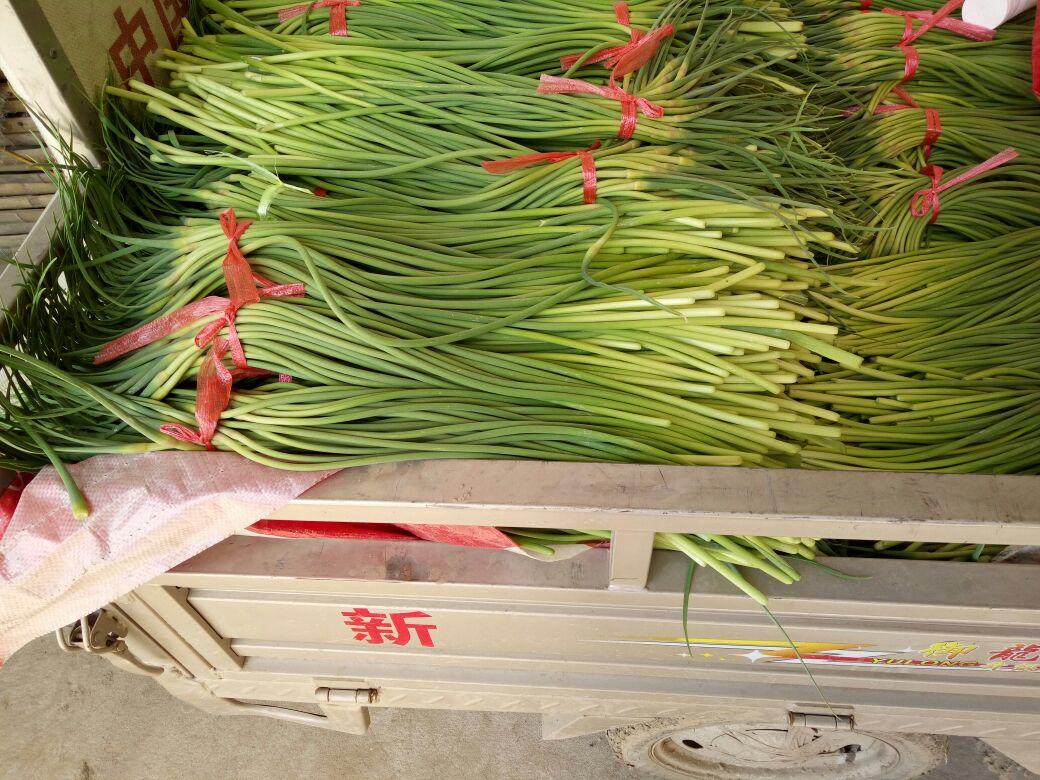 红帽蒜薹 一茬 50~60cm 通货