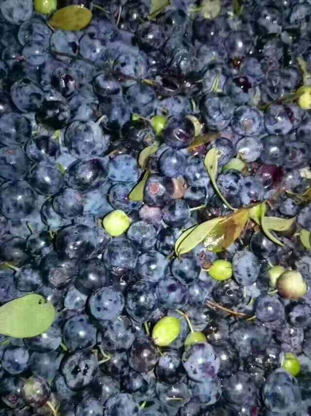 野生藍莓 6 - 8mm以上