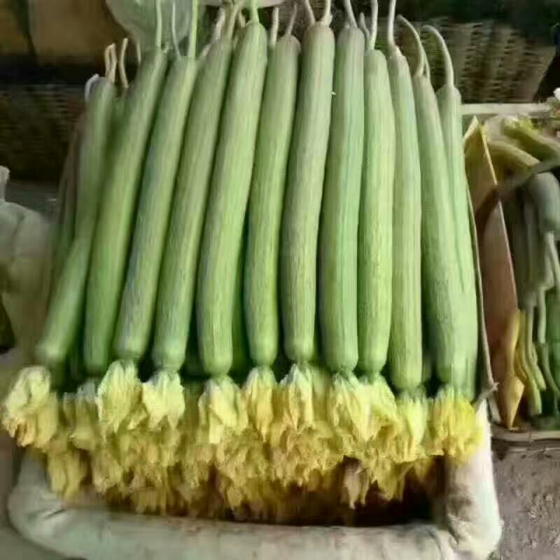 中綠絲瓜 40cm以上