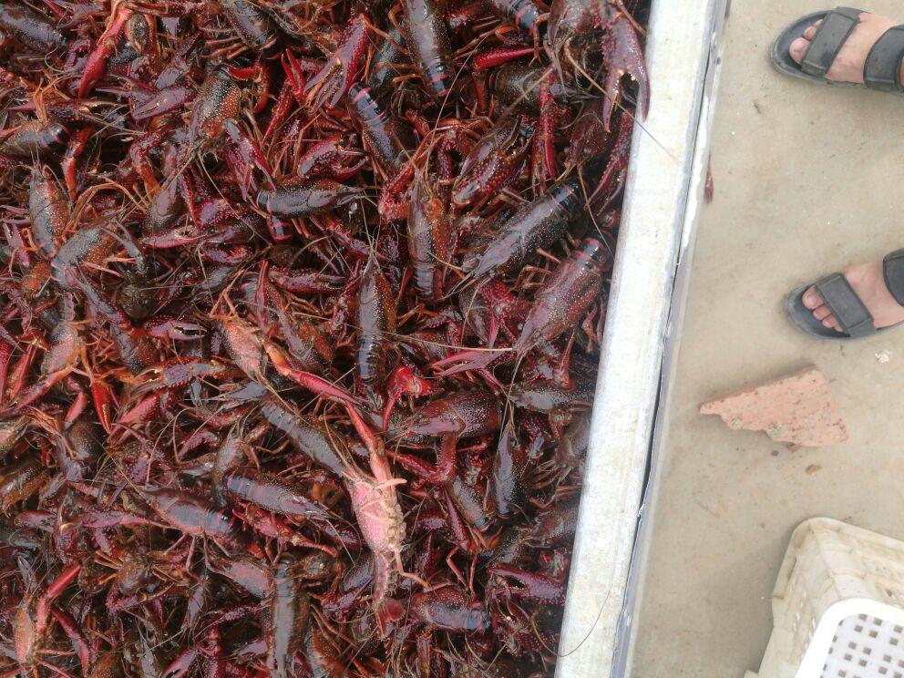 潜江小龙虾 456规格的中青中红全部自己和周边伯伯一起养的虾
