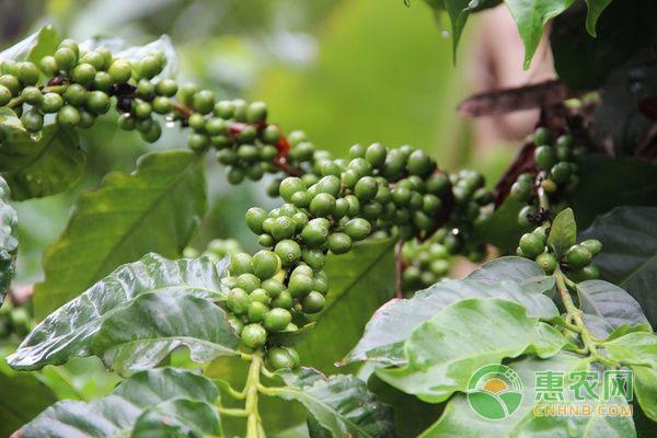 咖啡种植技术:如何种出精品咖啡