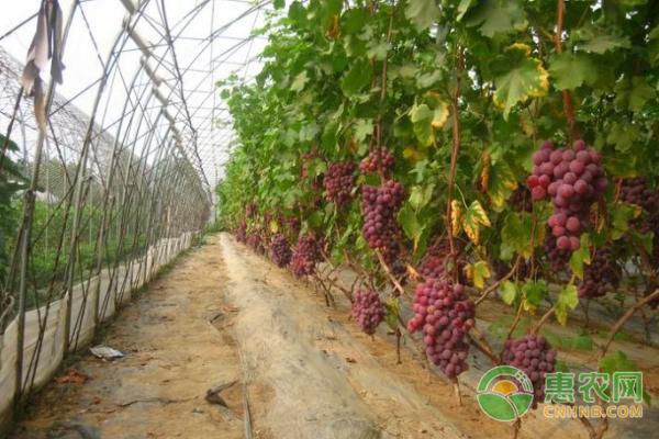 葡萄种植案例:东北姑娘葡萄园里实现致富梦