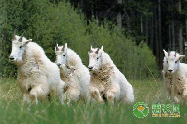 养羊技巧之产出优质羊绒毛的方法