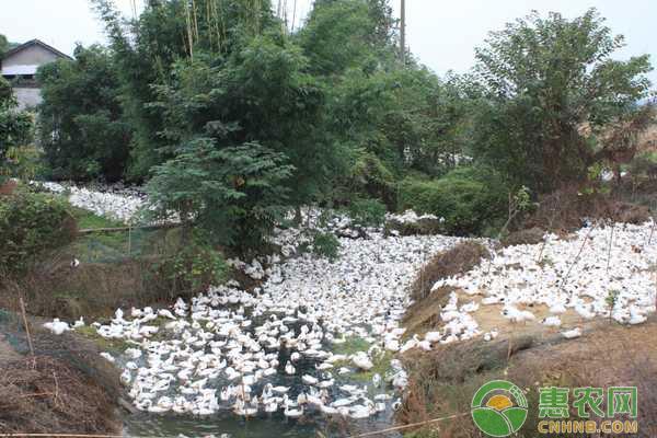 养殖户:鸭子的养殖你知多少?