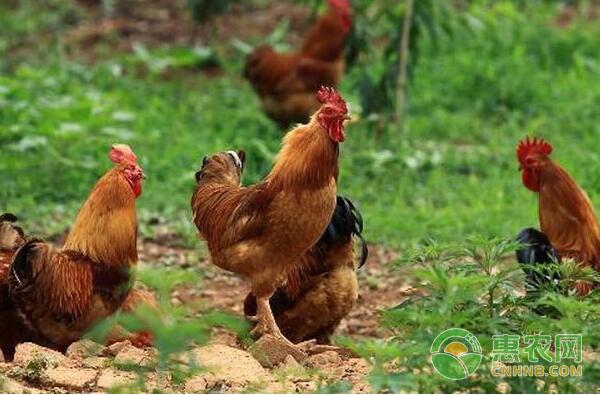 养鸡常见的误区,看看你都犯了吗?