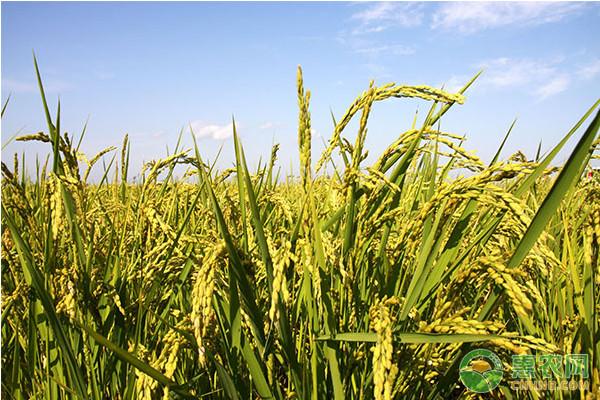 绿色水稻怎么种植?水稻绿色优质高产栽培技术要点
