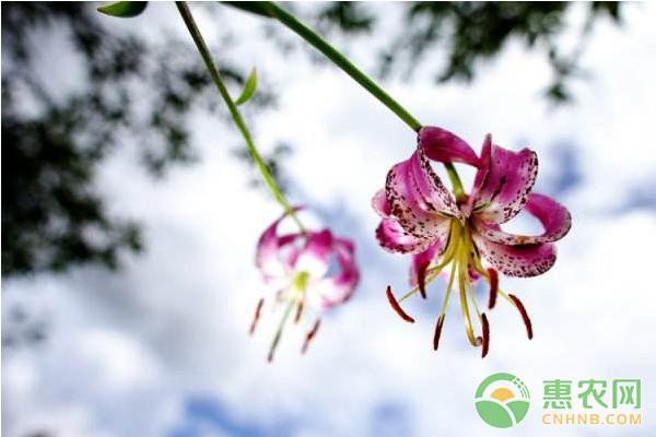 *生百合高產栽培技術及主要病蟲害防治措施