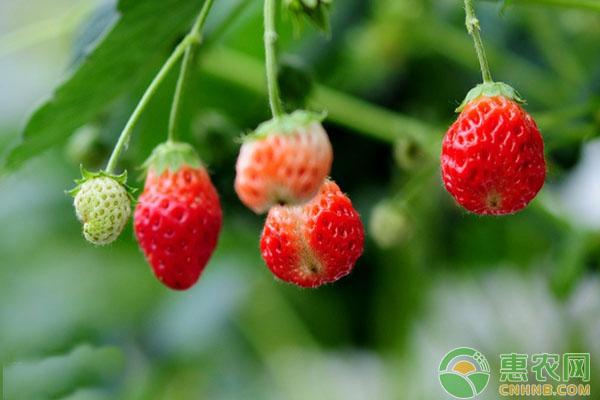 盆栽草莓方法