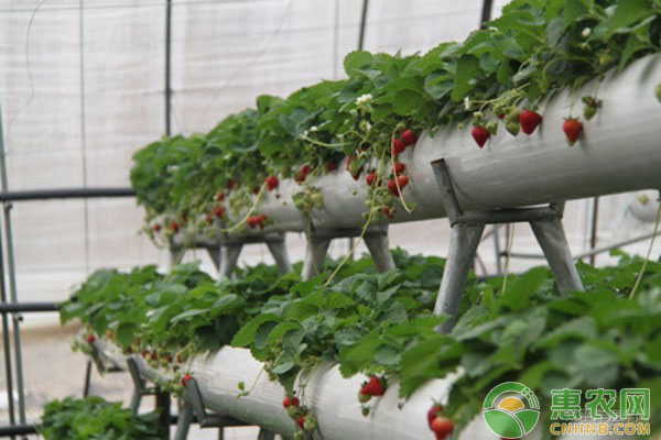 草莓盆栽要点