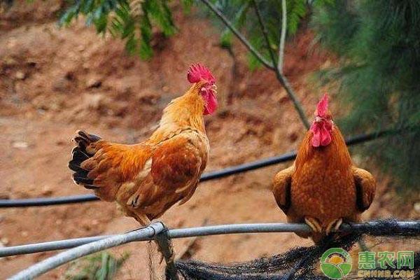 养鸡知识:中药养鸡的注意事项有哪些?