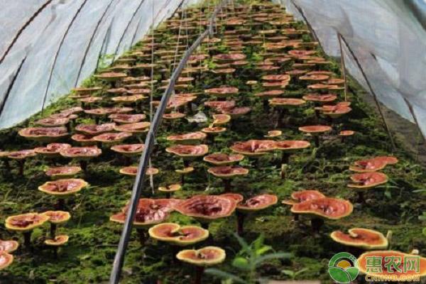 灵芝如何栽培?灵芝的栽培季节、培养料配方及管理方法