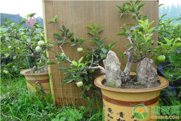 浅谈果树盆景营养缺乏症状及其防治