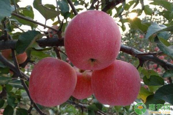 甘肃静宁老苹果园改造技术措施和经验