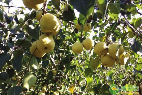 浅谈北方落叶果树冬季*壤改良、病虫防治等管理要点