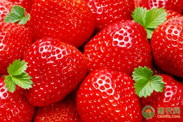 草莓根腐病病菌来源、发病症状及其防治措施